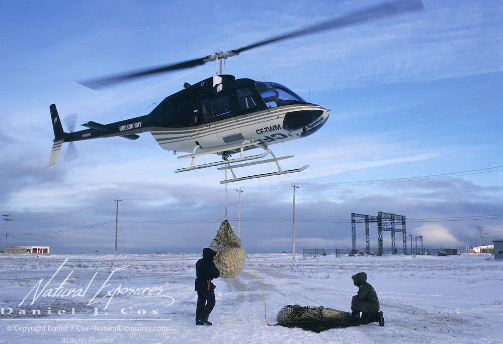 Biologists moving problem polar bears out of Churchill, Manitoba, Canada.