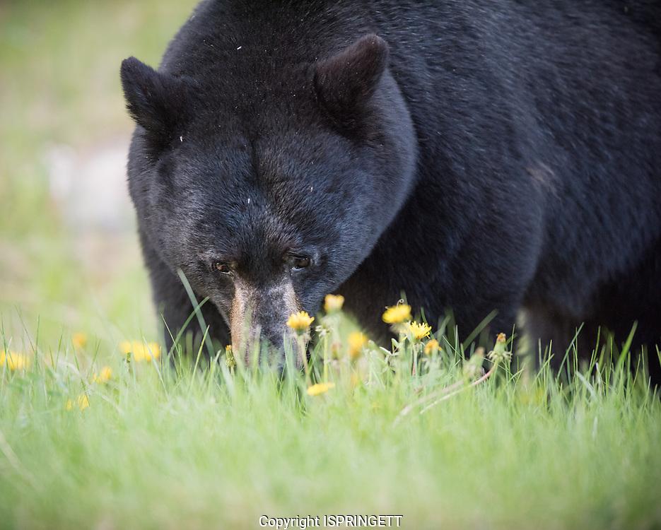 Black Bear. (Ursus americanus), Alberta, Canada, Isobel Springett