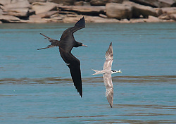 A Frigage bird in hot pursuit of fresh fish in the mouth of a tern.  Known as 'robber birds' the Frigate birds ambush the terns and steal their catch.