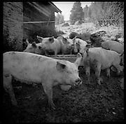 Mit Schotte und frischen Alpkräutern gemästet, haben es die Schweine gut: Bergsauen auf Alp Eischoll. Engraissés avec le petit lait de la fabrication fromagère de l'alpage les cochon grossisent vite. © Romano P. Riedo