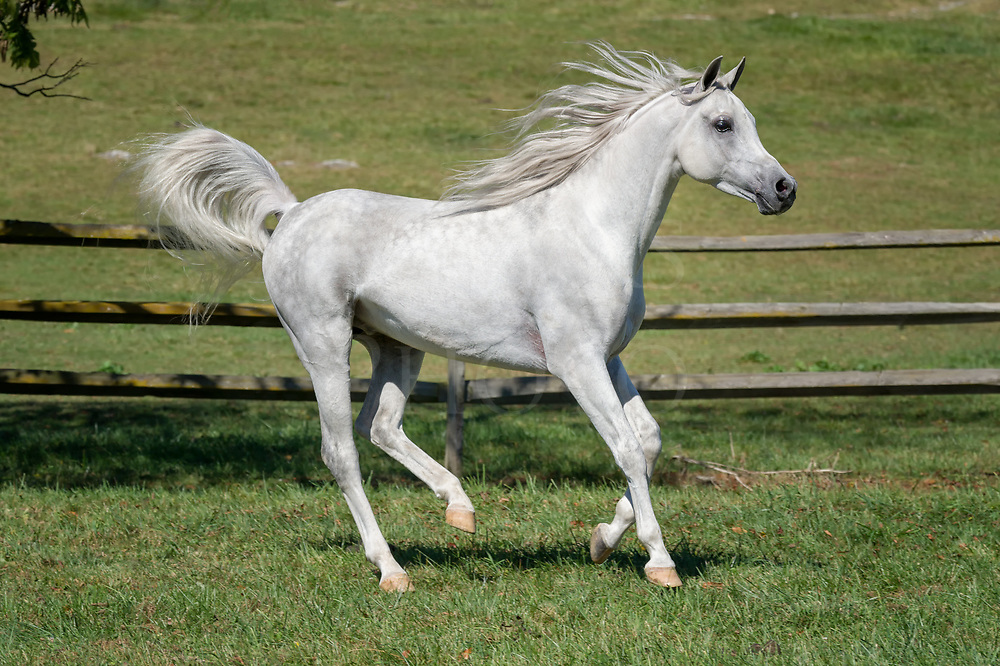Horse running with mane flying in side view, a very beautiful white Arabain stallion.
