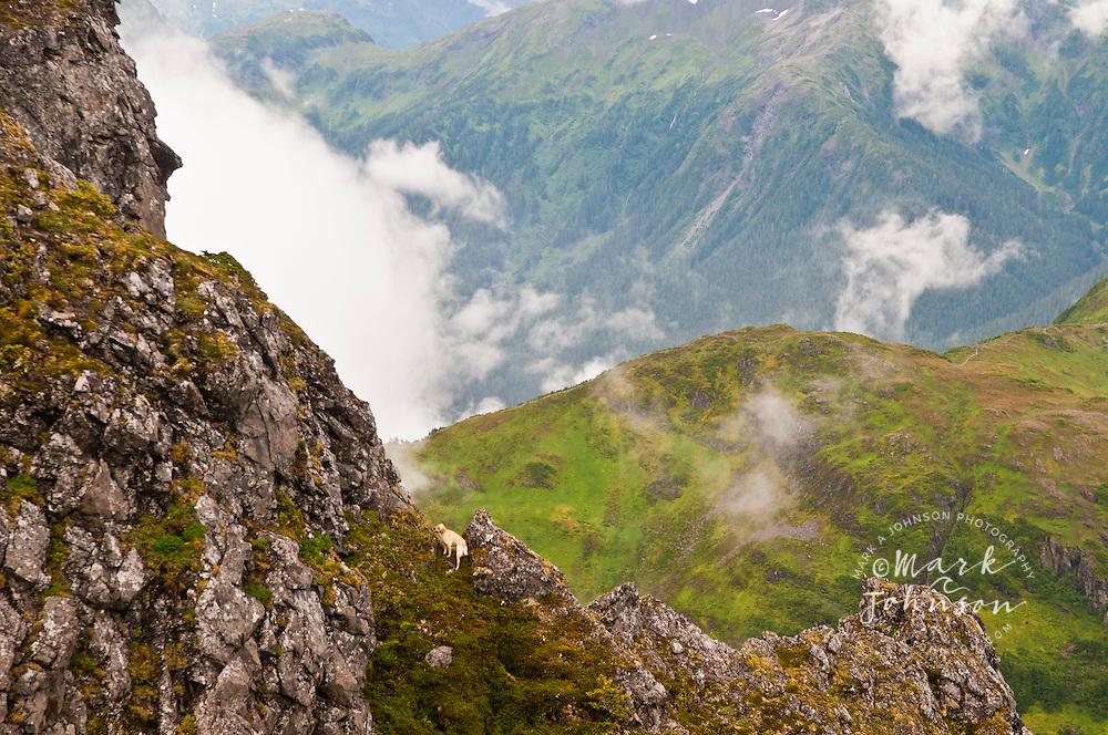 Dog on steep peak near Harbor Mountain, Sitka, Alaska