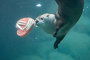 A river otter plays with Valentine's Day treats at Woodland Park Zoo in Seattle, Washington, on Friday, February 10, 2017.