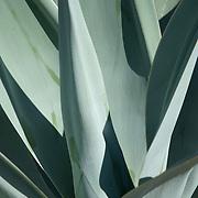 Cactus at Cactimundo. San José del Cabo, BCS.Mexico Mexico. Cactus..San Jose del Cabo, BCS. Mexico.