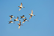 Northern Pintails, Anas acuta, Clay County, Nebraska