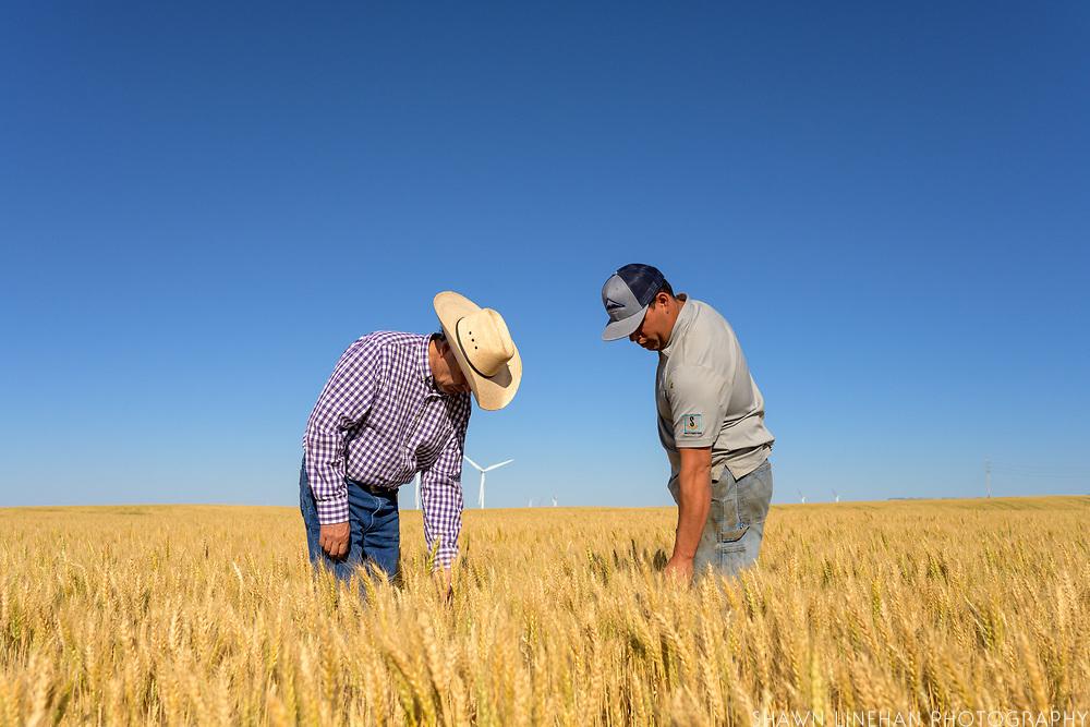 """""""Kelse"""" dark northern spring wheat"""