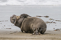Northern Elephant Seals [Mirounga angustirostris] hauled out on the beach during birthing & breeding season; bull yawning scratch; Piedras Blancas, CA