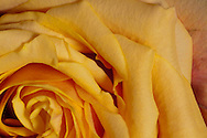 Heart of a yellow Rose