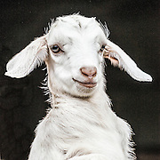 Cheryl - Goat