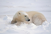 Polar Bear (Ursa maritimus) resting on sub-arctic Hudson Bay <br />Churchill<br />Manitoba<br />Canada