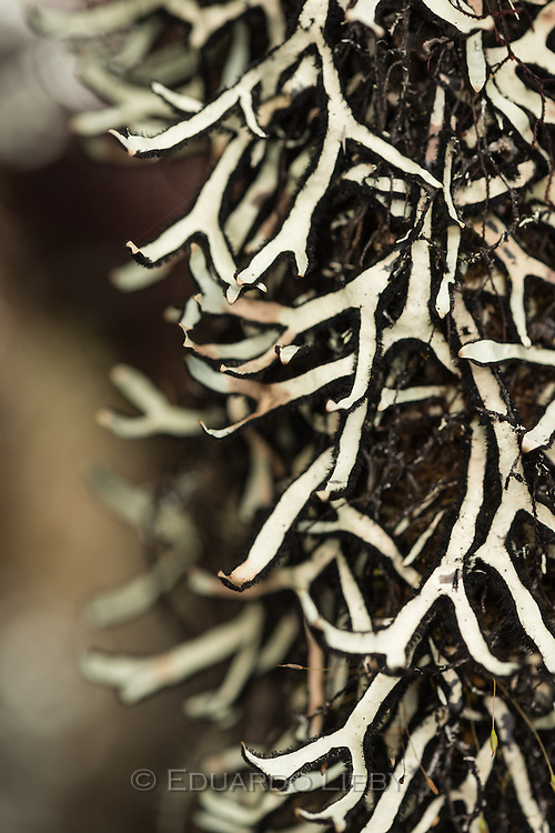 The lichen Hypotrachyna caracensis on a shrub branch. Cerro de la Muerte, Costa Rica. Photo by Eduardo Libby