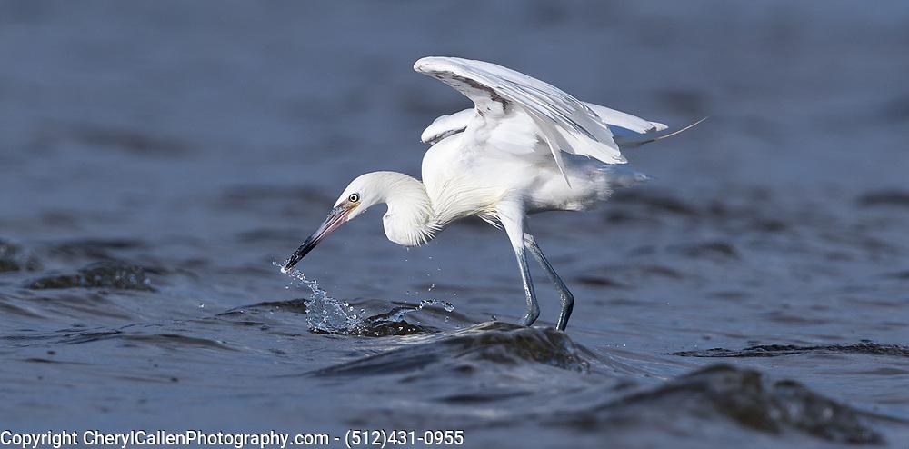 Reddish Egret-white morph skilled hunter