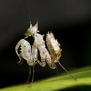 Juvenile Ceratomantis saussurii (Wood-Mason, 1876)  Horned mantis or spiny mantis.