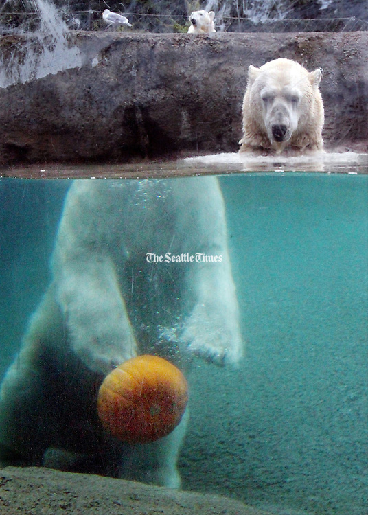 Blizzard, one of four polar bears at the Point Defiance Zoo &amp; Aquarium, demonstrates his pumpkin dribbling ability during Zoo Boo. Blizzard is able to excellently bounce the pumpkin with any of his four paws off the bottom of his pool before chomping down. <br /> Alan Berner / The Seattle Times