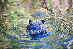 A coypu or nutria (Myocastor coypus) swims across a canal reflecting yellow lilies in bloom , Le Camargue, Provence, France