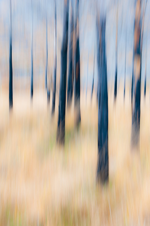 Burned Scots pines, Torridon, Scotland