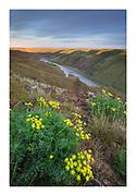 Smooth Desert Parsley  (Lomatium laevigatum). View of John Day River cutting through basalt flows of Columbia Plateau in Sherman/Gilliam County, Oregon