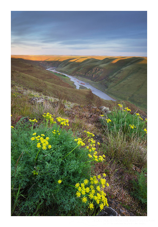 Smooth Desert Parsley  (Lomatium laevigatum). View of John Day River cutting through basalt flows of Columbia Plateau in Sherman/Gilliam County, Oregon