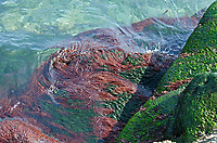 Dumontia contorta growing in the littoral zone on Mount Desert Island, Maine