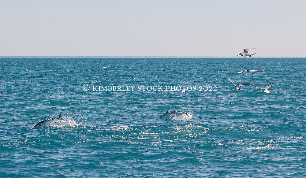 A mackeral tuna and northern bluefin tuna leap out of the water west of Broome's Cable Beach as terns fish for baitfish.