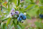 Blueberries ripen on a bush in the garden.