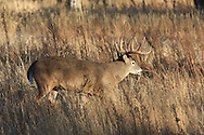 Whitetail buck in brushy, wooded autumn habitat