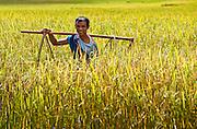 Portrait of a farmer in Myanmar as he stands in a field of golden wheat.