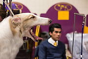 New York, NY - 16 February 2015. Borzoi Tatiana yawns while being groomed in the benching area of Madison Square Garden prior to her appearance in the Hound group of the 139th Westminster Kennel Club Dog Show.
