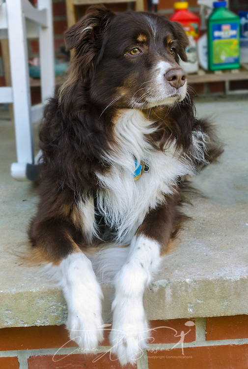 Cowboy, a six-year-old Australian Shepherd dog, lays on a porch in Alabama, April 11, 2014. (Photo by Carmen K. Sisson/Cloudybright)