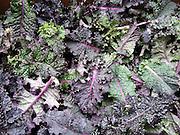 'Lacinato Rainbow' kale from Wild Garden Seed