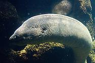 Moray Eel in the Forbidden Reef pool at Sea World, near San Diego, California