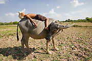 16 MARCH 2006 - KAMPONG CHAM, KAMPONG CHAM, CAMBODIA: A boy naps on the back of a Carabao (water buffalo) near the city of Kampong Cham  in central Cambodia. Water buffalo are still used as beast of burden in Cambodia and Laos, their use in Thailand as largely been supplanted by mechanized equipment like tractors. Water buffalo are also an important source of meat and milk in rural parts of southeast Asia. PHOTO BY JACK KURTZ