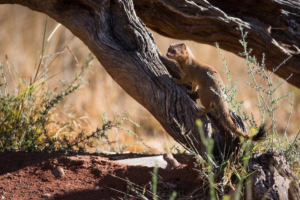 Slender Mongoose at Okonjima, Namibia.