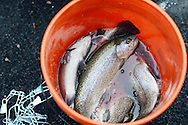 Some of the trout caught by people on the first day of trout season at Fanny Chapman Pond Saturday April 2, 2016 in Doylestown, Pennsylvania.  (Photo by William Thomas Cain)