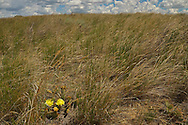 A prickly pear cactus blooms while prairie grasslands bend to the force of the wind in the Great Plains of Montana at American Prairie Reserve. South of Malta in Phillips County, Montana.