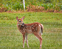 Fawn with spots. Backyard summer nature in New Jersey. Image taken with a Nikon 1 V3 camera and 70-300 mm VR telephoto zoom lens (ISO 800, 300 mm, f/5.6, 1/160 sec).