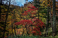 The riot of peak color with Hokkaido's maple trees in the Sounkyo Gorge.  Daisetsuzan National Park, Hokkaido, Japan.  With a total area 226,000 ha (558458.162 acres), Daisetsuzan National Park is the largest national park in Japan.