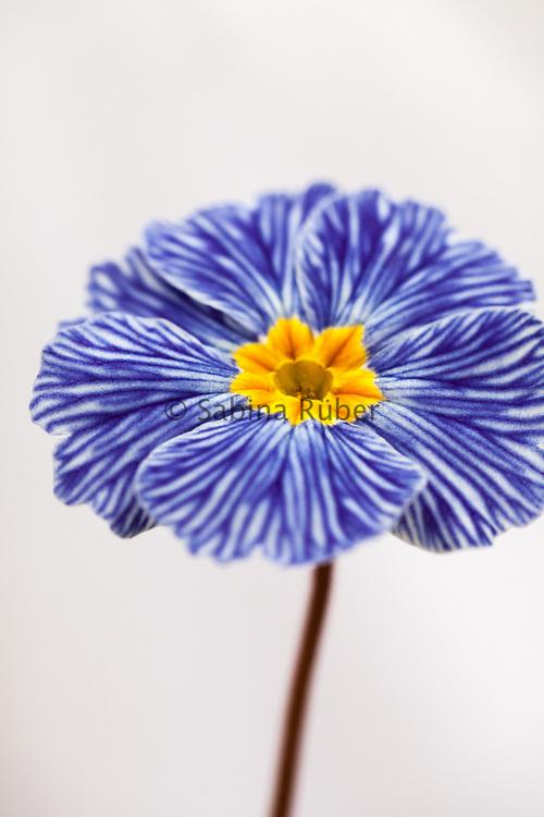 Primula acaulis 'Zebra Blue' - primrose