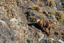 A large male puma (Puma con color) also known as a mountain lion or cougar, stops to tie eye contact as he walks up a steep mountain incline, Patagonia, Torres del Paine, Chile, South America