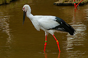 Oriental White Stork or Oriental stork (Ciconia boyciana) is a large, white bird with black wing feathers in the stork family Ciconiidae.  Photographed at the Hyogo Park of the Oriental White Stork, Honshu, Japan in November. This is an endangered species and extinct in the wild in Japan