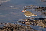 The Forbes's Plover or Forbes's Banded Plover, Charadrius forbesi, from Sweetwater, kenya.