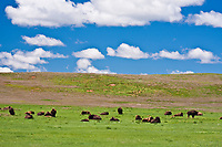 Bison grazing on the rolling hills of Wind Cave National Park, South Dakota.