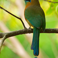 Blue Crowned Motmot in Costa Rica.