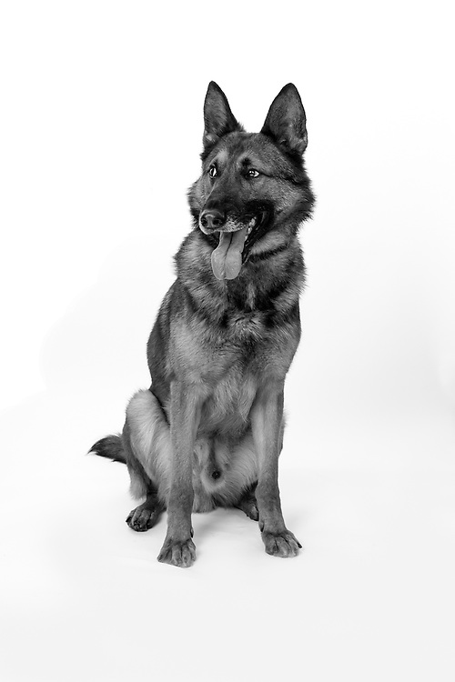 Chilli is a Protection Dog,  Veterans Portrait Project UK Sennelager Germany