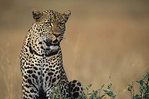 Leopard, (Panthera pardus) Resting on top of termite mound. Kenya. Africa.