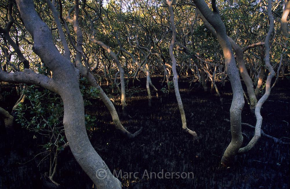 Mangroves in a Mangrove Forest, Sydney, Australia.