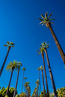 A palm tree lined street in Beverly Hills (Los Angeles), California USA.