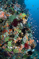 Sweepers and Anthias feed in the current on an incredibly colorful reef wall.<br /> <br /> Shot in Indonesia