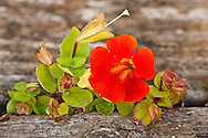 Closeup of Mimulus flower growing in crack of railroad tie in Eagle River in Southcentral Alaska. Fall. Afternoon.