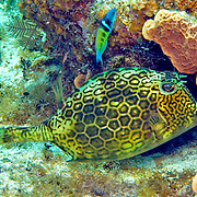 Honeycomb Cowfish swim about reefs blending with the background in Tropical West Atlantic; picture taken Little Cayman 2006